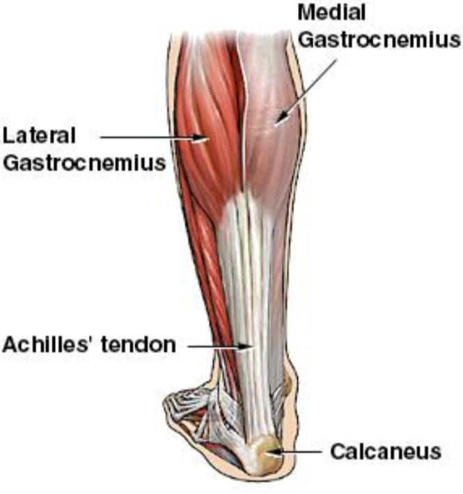 Achilles-Tendon-Anatomy-specialtyorthony.com_.png