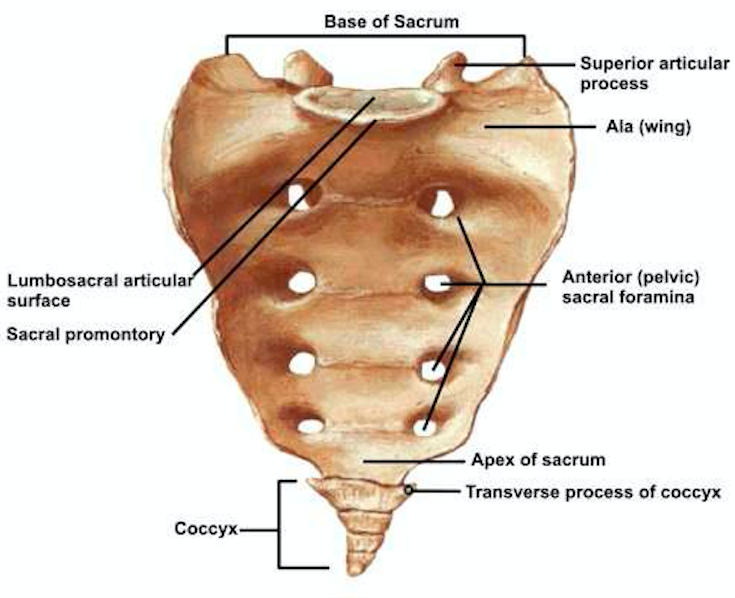 Sacrum-Anatomy-orthbullets.com_.png
